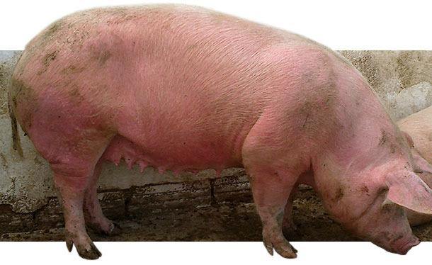 Erkrankte Sauen in Gruppenhaltung mit EM in Form von rötlich veränderten, leicht erhabenen Hautbereichen am gesamten Körper.