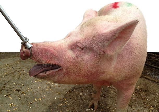 Erkrankte Sauen in Gruppenhaltung mit EM in Form von rötlich veränderten, leicht erhabenen Hautbereichen am Hals und im Gesicht.