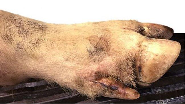 Leichte Läsionen am Kronenrand, Läsionen im Zwischenklauenspalt und am Fußballen bei den meisten lahmen Schweinen