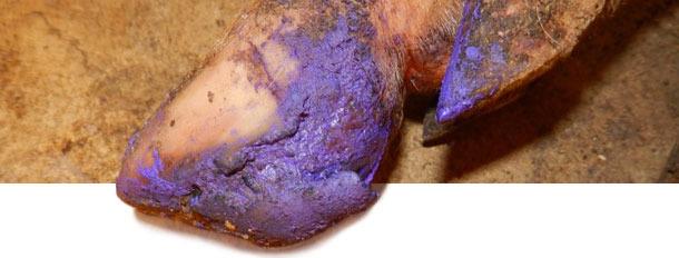 Schweine mit schweren Läsionen erhielten eine grundlegende Klauenpflege um ihre Genesung zu unterstützen.