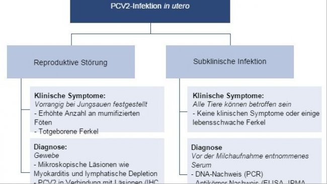 Auswirkungen der PCV2-Infektion in utero