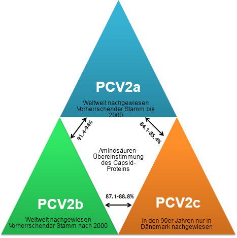 Hauptgenotypen von PCV2 und deren Verwandtschaft auf Grundlage des Capsid-Gens