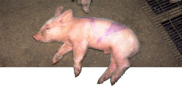 Acute case of Strep suis type 14 in a 2week old piglet