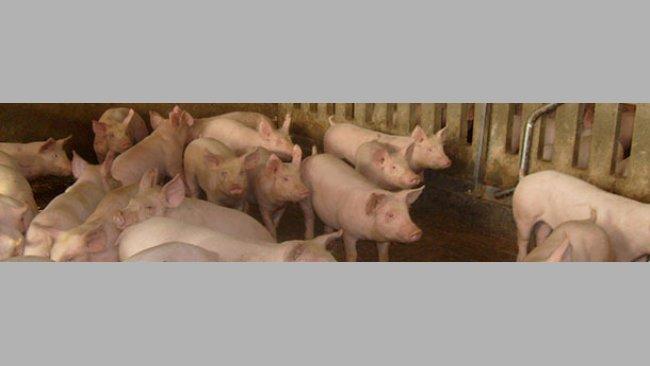 Risikofaktoren für das Auftreten der Enzootischen Pneumonie bei Mastschweinen