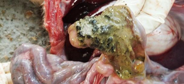 5 Wochen altes Ferkel: Interstitielle Pneumonie und überschüssige Flüssigkeit in der Brusthöhle
