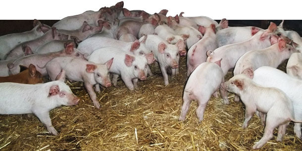 Eine große Zahl von Tieren zeigte bald nach dem Absetzen Blässe und Konditionsverlust