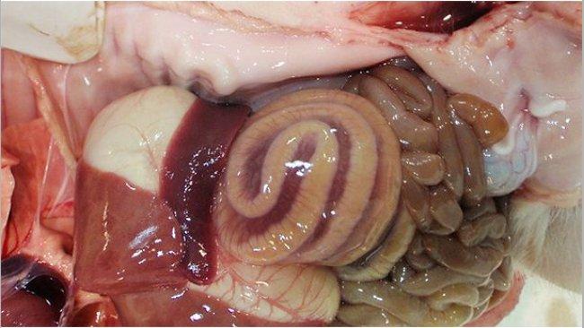 Abbildung 1: Ein Ödem im Mesocolon ist die klassische makroskopisch sichtbare Läsion, die bei CDI festgestellt wird.
