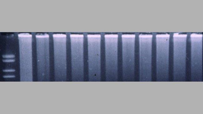 Fluorogene PCR