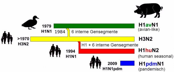 Abbildung 1: Geschichte und Ursprung porziner Influenza-A-Viren (IAV), die derzeit in Europa zirkulieren. Es ist festzustellen, dass keines dieser porzinen Influenza-A-Viren aus Schweinebeständen stammte.