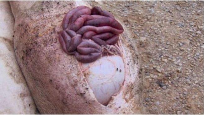Sektion eines Tieres mit einem Magengeschwür