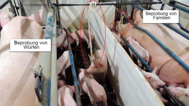 Abbildung 1: Beprobung von Würfen (nur die Ferkel erhalten einen Baumwollstrick) und Beprobung von Familien (sowohl die Sauen als auch die Ferkel erhalten einen Baumwollstrick)