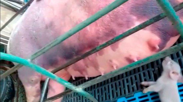 Foto 5: Hämorrhagien bei säugenden Sauen