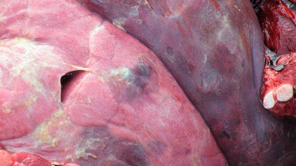 Abbildung 4: Lungenläsion durch APP