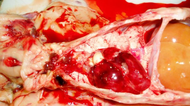 Abbildung 7: Das Herz des Ferkels von Abb. 3: Hervorzuheben sind petechiale Blutungen im Herzen und hämorrhagische Lymphknoten.
