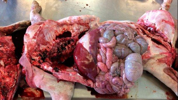 Abbildung 6a: Sektion im Labor: Abgesehen von der schokoladenbraunen Verfärbung des Bluts wurden keine weiteren Auffälligkeiten festgestellt.