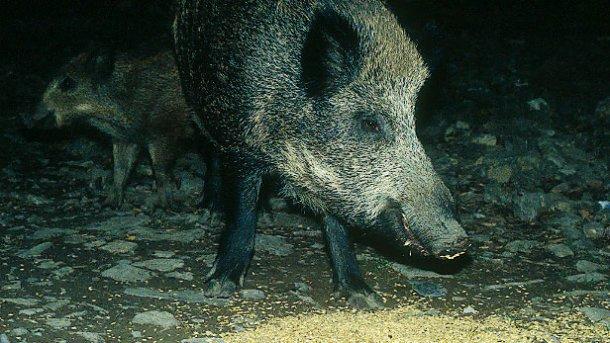 Sowohl hinsichtlich der Jagd als auch in Bezug auf die Schadensvermeidung ist eine Debatte und Regulierung der Fütterung von Wildschweinen erforderlich.
