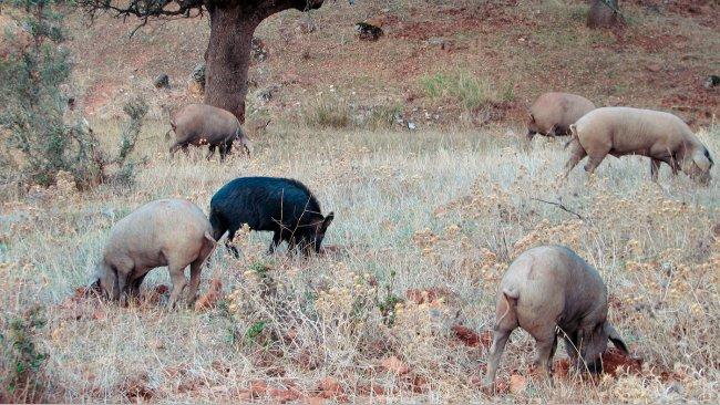 Der Kontakt mit Wildschweinen ist bei Betrieben mit Freilandhaltung wahrscheinlicher, aber einige Krankheitserreger wie z. B. die Viren der Aujeszky-Krankheit oder der klassischen Schweinepest können auch die Schweine erreichen, die in Ställen untergebracht sind.