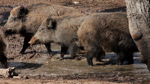 Sich suhlende Wildschweine: Die Zahl und räumliche Verteilung von Wildschweinen ist abhängig von der Wasser- und Futterverfügbarkeit.