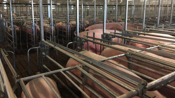 Die in dieser Woche abgesetzten Sauen werden auf die gruppenweise Besamung vorbereitet.
