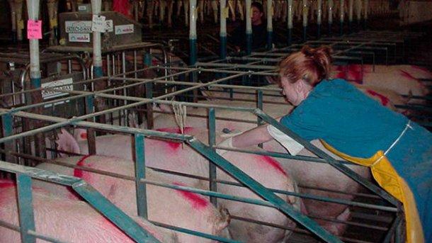 Mitarbeiter bei der Rauschekontrolle mit abgesetzten Sauen im Stall.