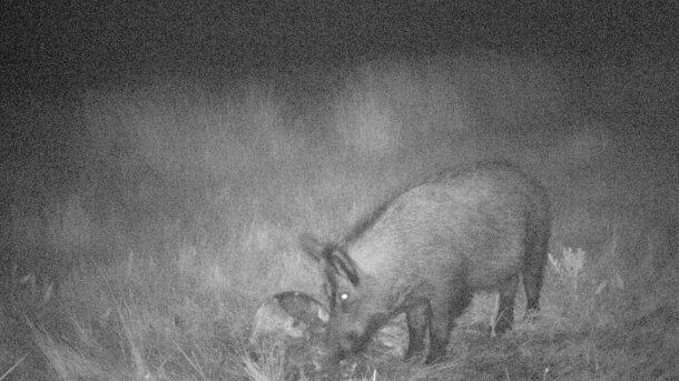 Foto 4: Mit Hilfe von Fotofallen lässt sich herausfinden, ob die Wildschweine mit den Tierkadavern und Jagdabfällen in Kontakt kommen. Es ist unbedingt zu vermeiden, dass die Jagdabfälle für Wildschweine zugänglich sind.