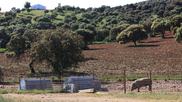 Foto 2: Schwein, das in einem Waldgebiet hinter einem einfachen Zaun gehalten wird. Die Wahrscheinlichkeit des Kontakts mit Wildschweinen ist hoch.