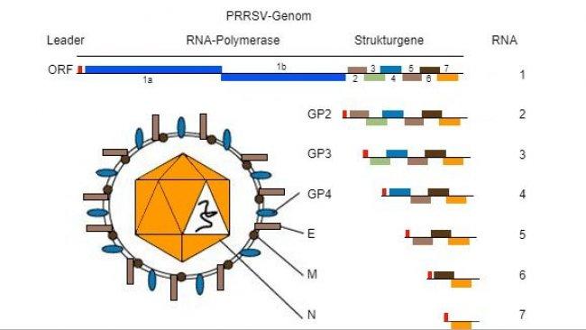 Abbildung 1: Das PRRSV-Genom ist ein einzelsträngiges RNA-Molekül.