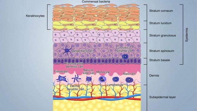 Abbildung1. Schema der Hautschichten.