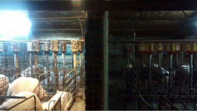 Abbildung 2. Unterschied bei der Beleuchtung im Wartestall vor und nach der Installation eines zusätzlichen Beleuchtungssystems