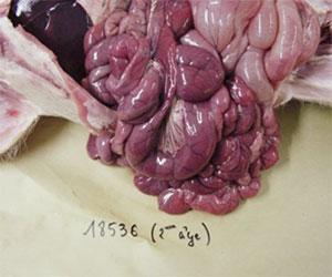 Dünndarm eines Ferkels mit Colibacillose