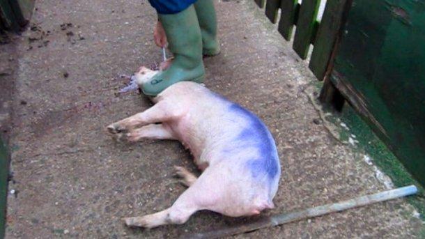 Abbildung 3: Stellen Sie sich bei der Gehirnzerstörung hinter das Schwein und nicht zwischen dessen Beine.