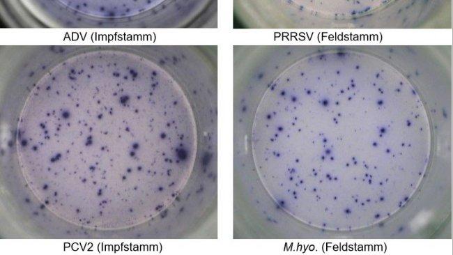 Abb. 1. IFN-γ ELISPOT. Antigen-spezifische Reaktionen beiPBMC auf Schweinepathogene.ADV: Aujeszky-Virus; PRRSV: Porzines-reproduktives-und-respiratorisches-Syndrom-Virus; PCV2: porzines Circovirus Typ2; M. hyo.: Mycoplasma hyopneumoniae. Jeder Spot ist auf dieIFN-γ-Sekretion durch reaktivierte Gedächtnis-/Effektor-T-Lymphozyten zurückzuführen. In Klammern ist das zur Reaktivierung der Zellen in den Testplatten verwendete Pathogen angegeben.