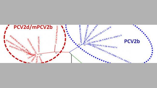 Beziehung zwischen den Hauptgenotypen von PCV-2 basierend auf ORF-2-Vergleich
