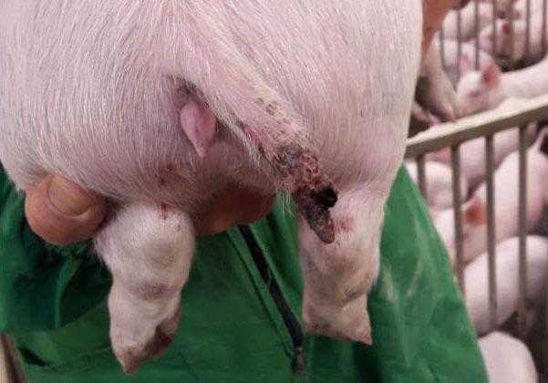 Abbildung 1: Schwere Verletzung bei einem Schwein von fast 15 kg, bei dem ein Teil des Schwanzes fehlt