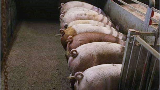 Bild 1: Nicht kupierte Schweine (Bild mit freundlicher Genehmigung von Inge Böhne)