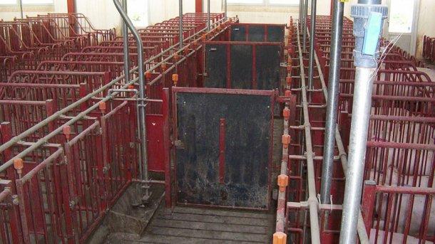 Die Türen in den vorderen Gängen müssen alle 5 Buchten zu schließen sein, um die Rauschekontrolle und Paarung von Gruppen mit jeweils 10 Sauen zu ermöglichen.