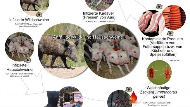 Abbildung 1: Übertragungswege des Virus der afrikanischen Schweinepest inklusive direktem und indirektem Kontakt mit infektiösen Tieren, ihren Produkten, Ausscheidungen/ Sekreten und/oder Blut, Kadavern, verschiedenen kontaminierten Infektionsträgern und biologischen Krankheitsüberträgern (eigene Arbeit).