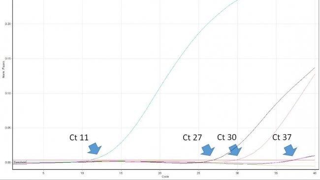 Abbildung 1: Der Schwellenwertzyklus (Ct-Wert) ist die erste Zyklusnummer der quantitativen Echtzeit-PCR, bei der Fluoreszenz festgestellt wird, was auf das Vorhandensein des entsprechenden Erregers in der Probe hinweist. Je niedriger der Ct-Wert, desto höher ist die Menge des Krankheitserregers in der getesteten Probe. Sehr hohe Ct-Werte sind mit Vorsicht zu interpretieren, da sie trotz fehlender Ziel-DNA in der Probe aus dem spontanen Zerfall einer TaqMan-Sonde in den sehr späten Zyklen entstehen können.