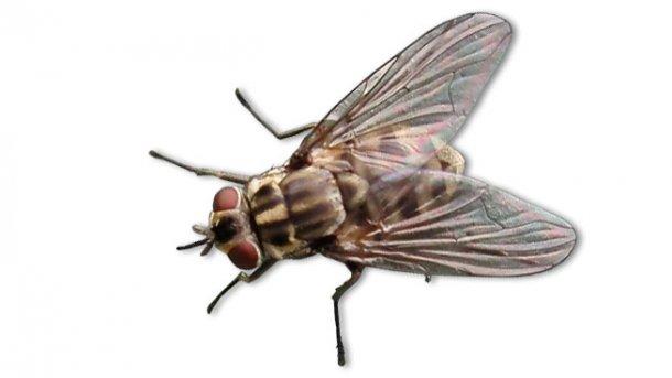 Gemeine Stechfliege (Stomoxys calcitrans)