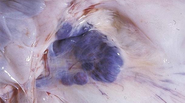 Abbildung 6: Sektionsbefunde bei betroffenen Schweinen. Man beachte die Blutungen in den Mesenteriallymphknoten.