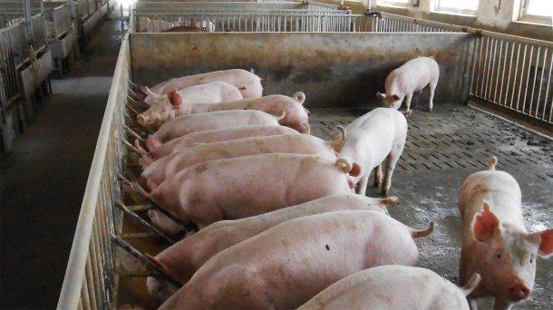 Abbildung 2: Typische Unterbringung eines Zucht- und Mastschweins in dem betroffenen Betrieb