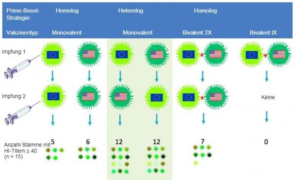 Abb.2. Effekt der herkömmlichen und heterologen Prime-Boost-Impfstrategie auf die Breite der H3N2-Antikörperantwort.Europäische und nordamerikanischeH3N2-SIV-Stämme sind mit den jeweiligen Flaggengekennzeichnet.Die 14 Tage nach der zweiten Impfung gewonnenen Serumproben wurden gegen15 antigenetisch unterschiedliche Viren einschließlich der Impfstämme getestet.Die Zahlen stellen die Anzahl jener Viren dar, gegen die die HI-Antikörpertiter≥ 40 betrugen.
