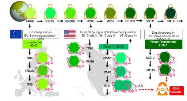"""Abb.1. Entwicklung der H3N2-Influenzaviren beim Menschen und beim Schwein. Die unterschiedlichen Grüntöne zeigen dieantigenetischen Unterschiede beiH3 HA; Die Virusstämme sind mit Ort (abgekürzt) und Jahr der Isolierung angegeben.Humanviren wurden in Europa in den frühen 1970er-Jahrenin die Schweinepopulation eingeschleppt, und in Nordamerika Mitte der 1990er-Jahre und 2010. Dies führte dazu, dass derzeit drei verschiedeneH3N2-SIV-Clades(siehe Kasten) zirkulieren, nämlich einer in Europaund zwei in Nordamerika. Die nordamerikanischen Clades """"springen"""" gelegentlich zurück in die Humanpopulation und werden dann als """"variante"""" Viren bezeichnet."""