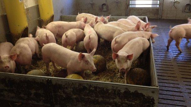 Bild 2: Beschäftigungsmaterial und Spielzeug, das den Schweinen zur Verfügung gestellt wird und das die Wahrscheinlichkeit des Auftretens von Schwanzbeißen möglicherweise verringert (Bild mit freundlicher Genehmigung von Inge Böhne)