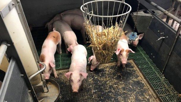 Bild 1: Nicht kupierte Schweine mit Beschäftigungsmaterial (Bild mit freundlicher Genehmigung von Inge Böhne)