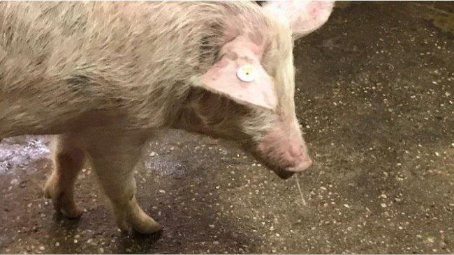 Abb.1. Nasenausfluss + Fieber = Schweinegrippe