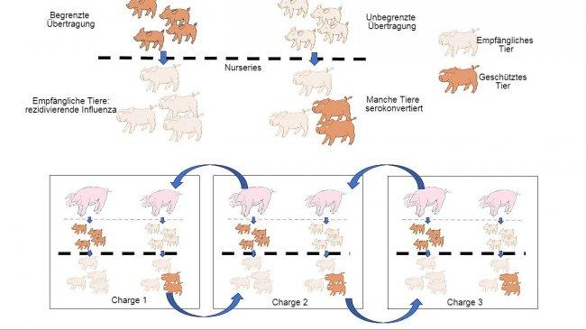 Abb.1: Die Verbreitung ist geringer bei Tieren, die einen besseren Immunschutz erhalten (Ferkel von multiparen Sauen), als bei Ferkeln von primiparen Sauen.In der Aufzuchtphase entwickeln Ferkel, die bei Vorhandensein einer gewissen Konzentration anmaternalen Antikörpern infiziert wurden, keine aktive Immunität, sodass das Virus in der Lage ist, eine erneute Infektion und somit eine rezidivierende Influenza zu verursachen.Schließlich erleichtert auch die gleichzeitige Präsenz von verschiedenen Chargen von Tieren unterschiedlichen Alters die Verbreitung des Virus zwischen verschiedenen Produktionschargen, sodass es zur Perpetuierung der Infektion kommt.