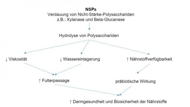 Wirkmechanismus der exogenen Enzyme: Exogene Enzyme sind präbiotisch aktiv, indem sie Nicht-Stärke-Polysaccharide zu Oligosacchariden hydrolysieren, die von bestimmten Bakterien verwendet werden können (nach Sinha 2011).