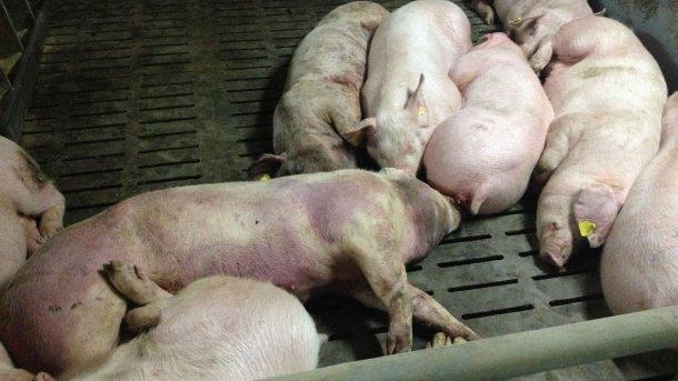 Bild von einem infizierten Schwein 14 Tage nach Feststellung der Krankheit: Schwere hämorraghische Läsionen am ganzen Körper.