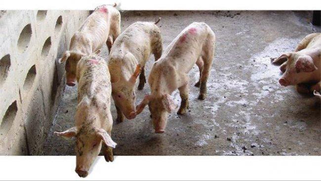Kranke Aufzuchtschweine mit niedriger Wachstumsrate.